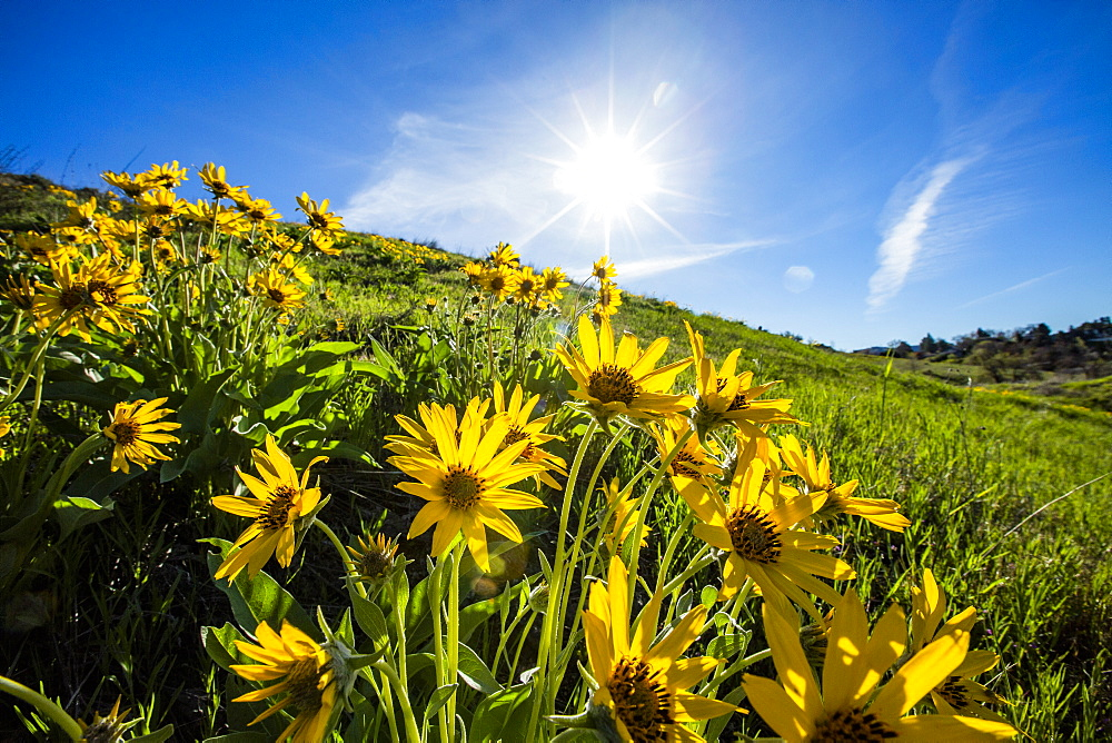 Arrowleaf balsamroot flowers under sunshine, Boise, Idaho, United States of America