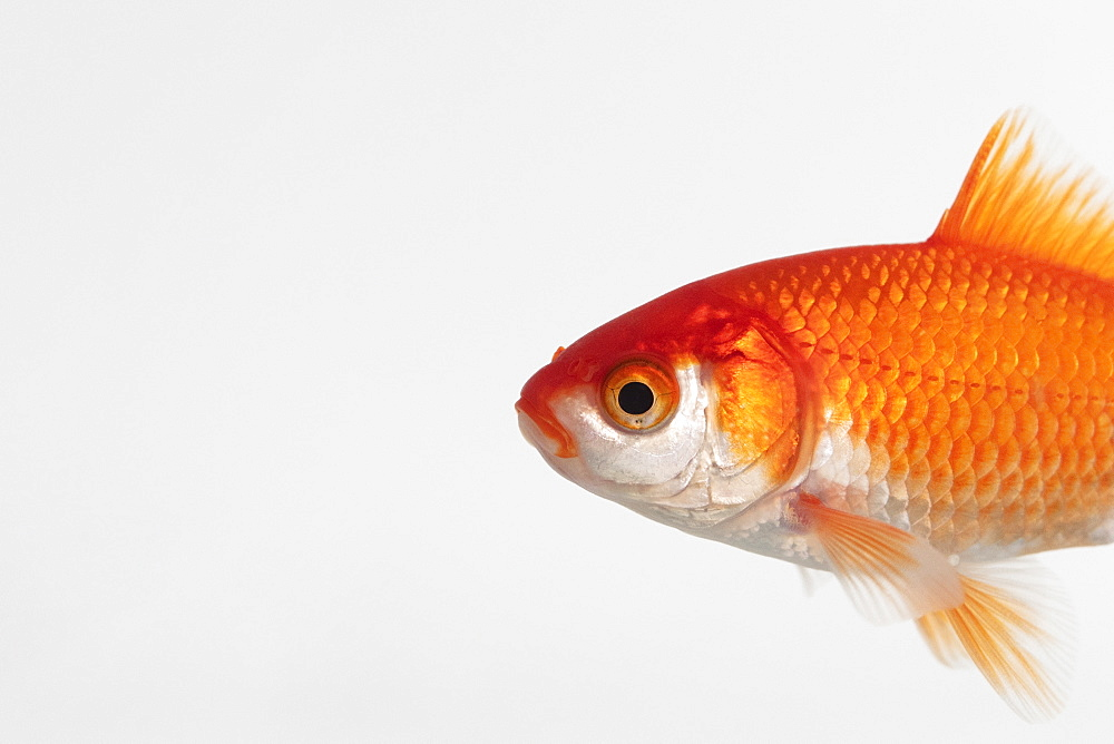 Side view of goldfish