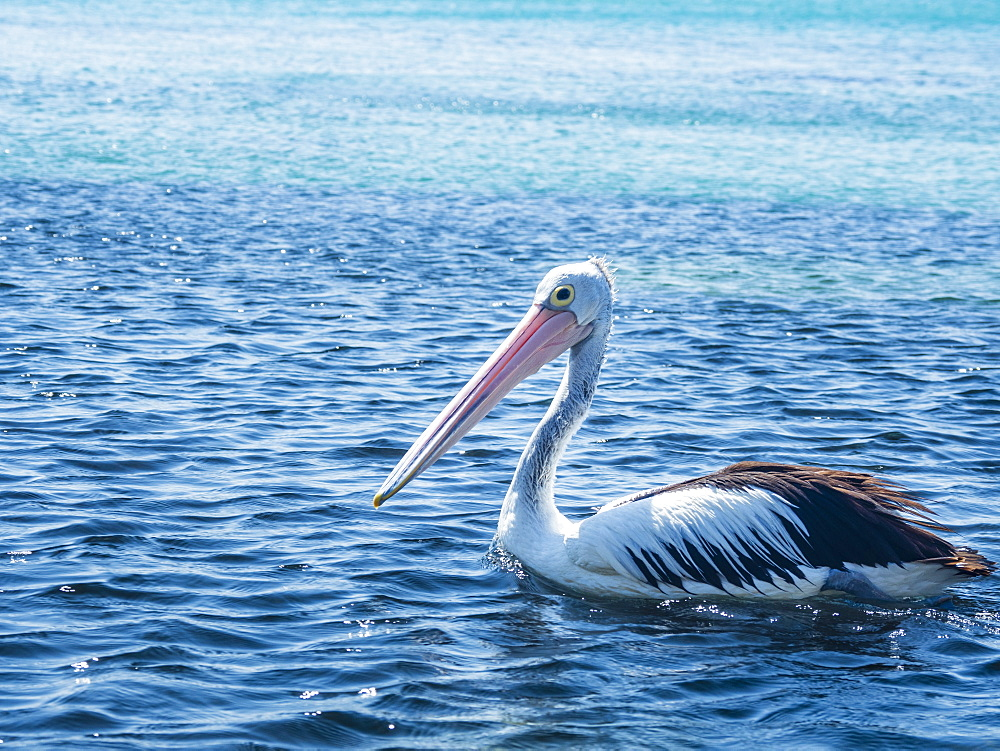 Pelican on sea