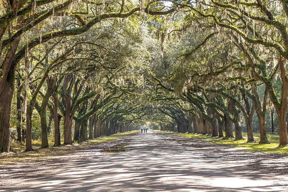 Treelined road with Spanish moss on Wormsloe Historic Site in Savannah, USA