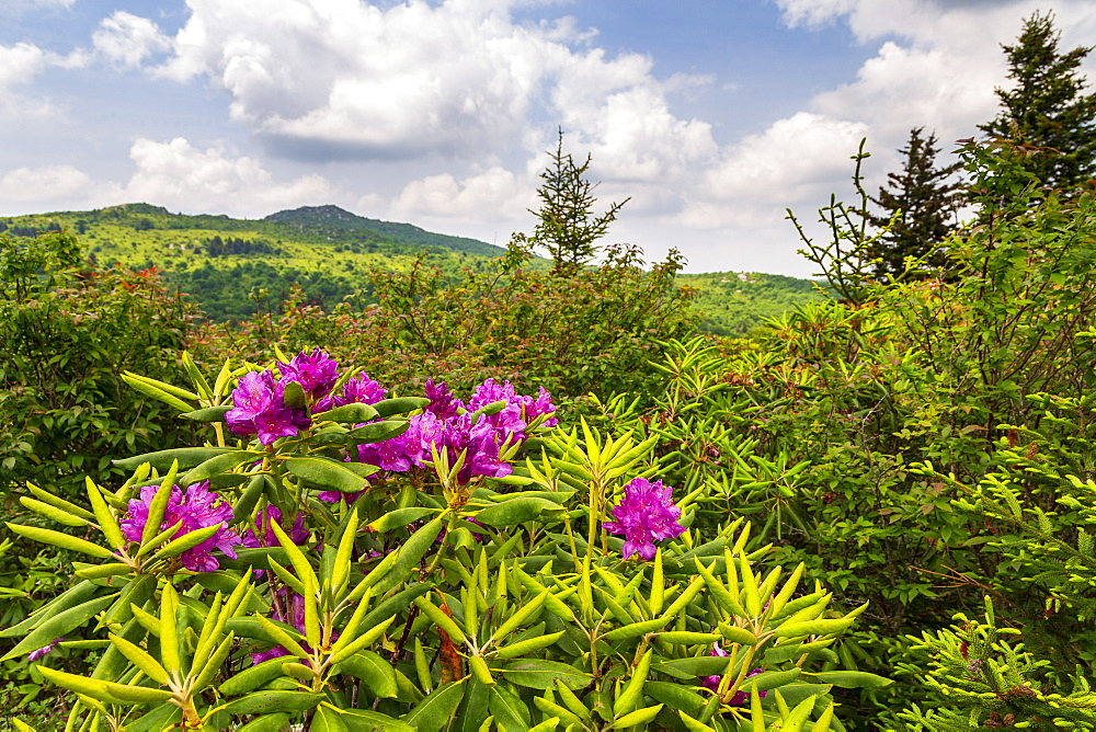 Purple flowers in Grayson Highlands State Park, USA