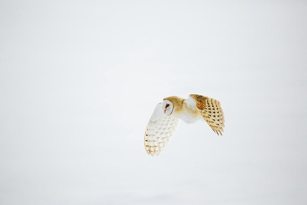 Barn owl in flight over snow
