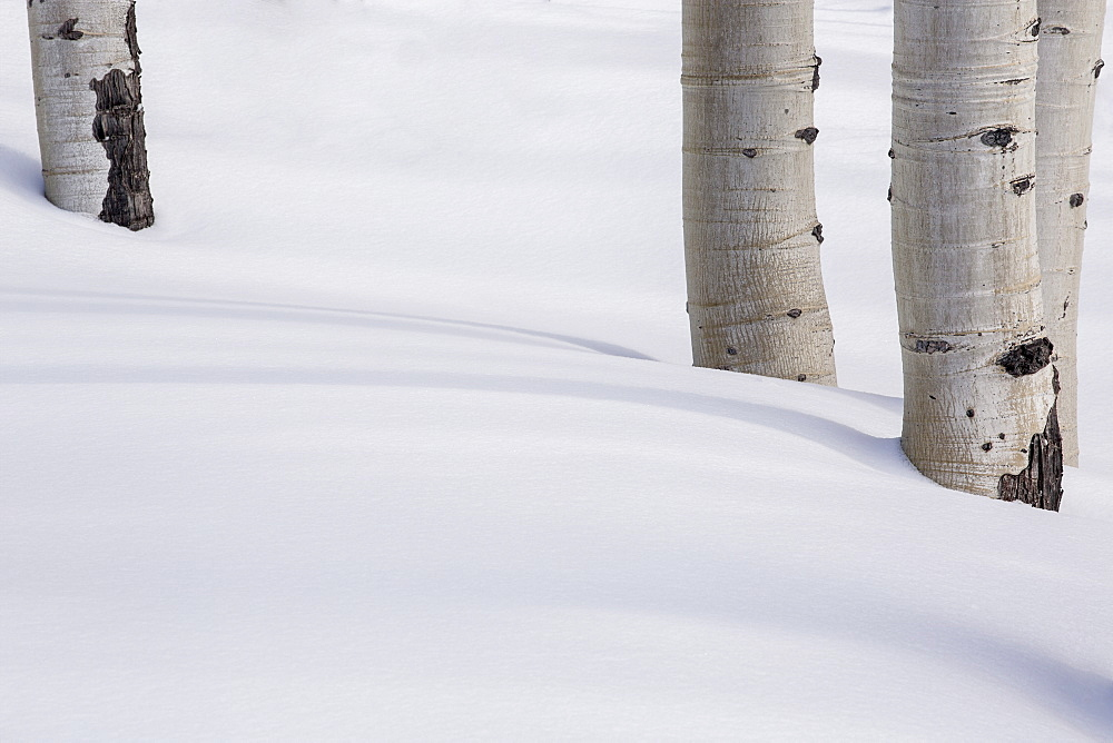 Aspen tree trunks in snow