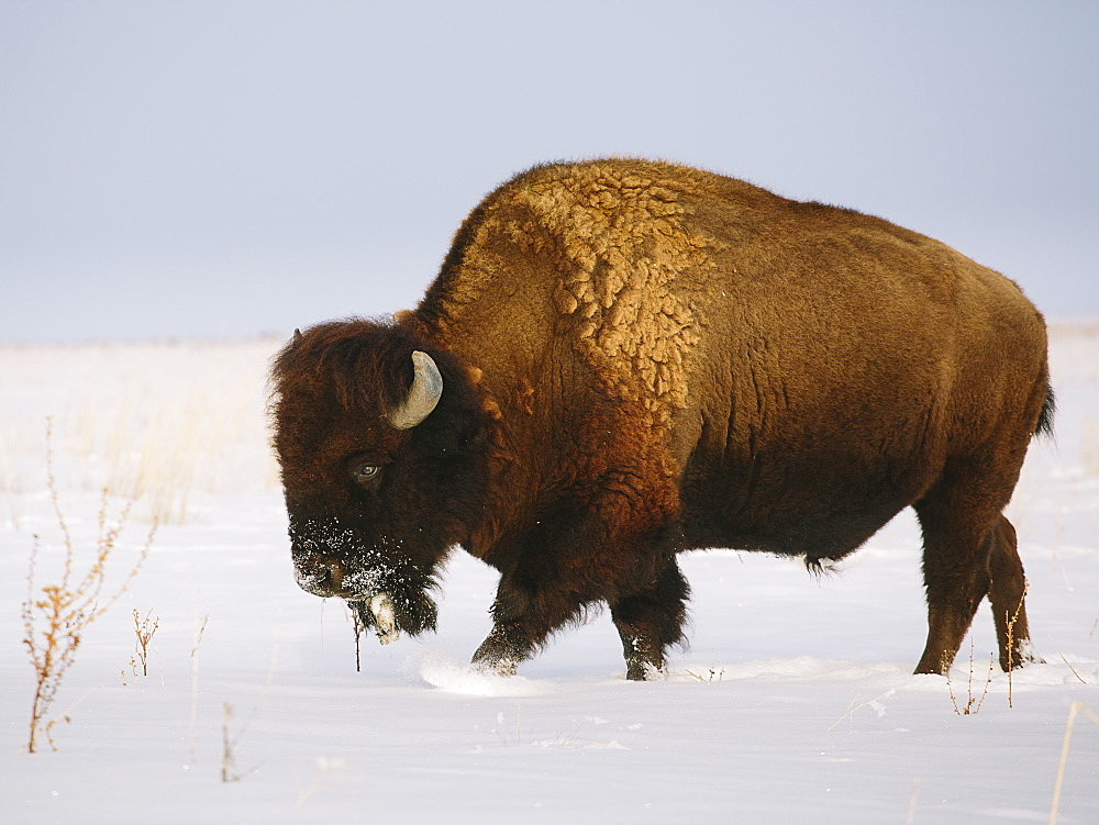 Buffalo in snow covered field