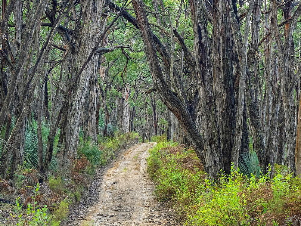 Path through forest in South Australia, Australia