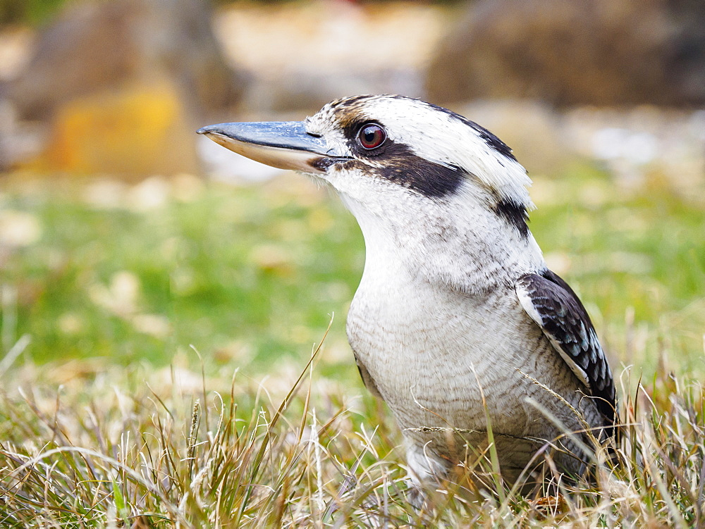 Kookaburra in grass - 1178-27863