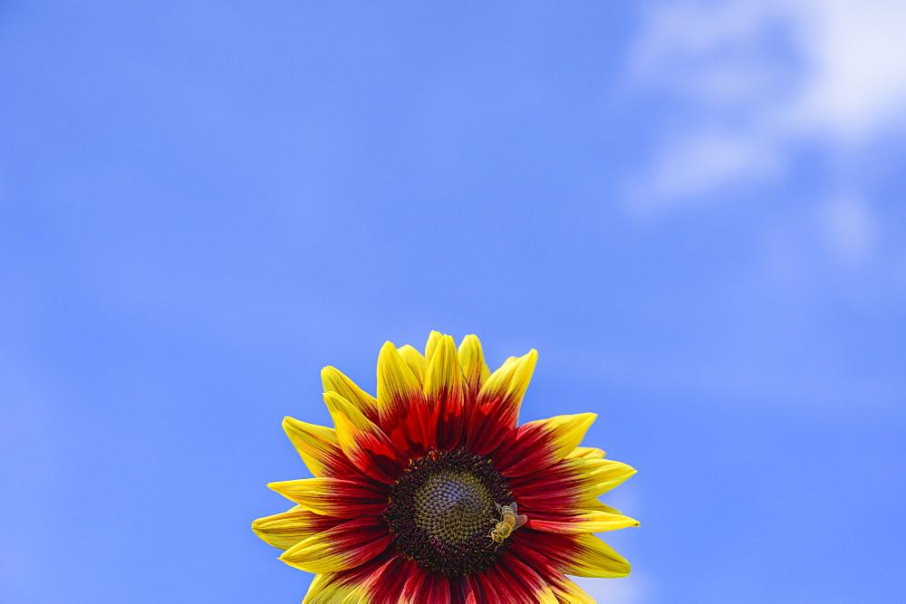 Bee on sunflower against sky