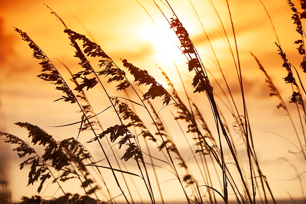 Silhouette of grass at sunset
