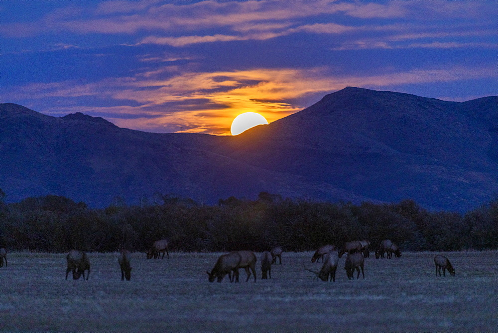 Elk in field by mountains at sunset in Picabo, Idaho, United States of America