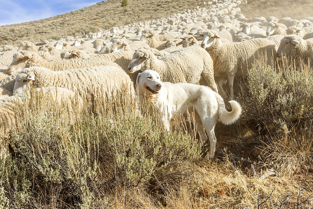 Great Pyrenees dog guarding flock of sheep in Sun Valley, Idaho, United States of America