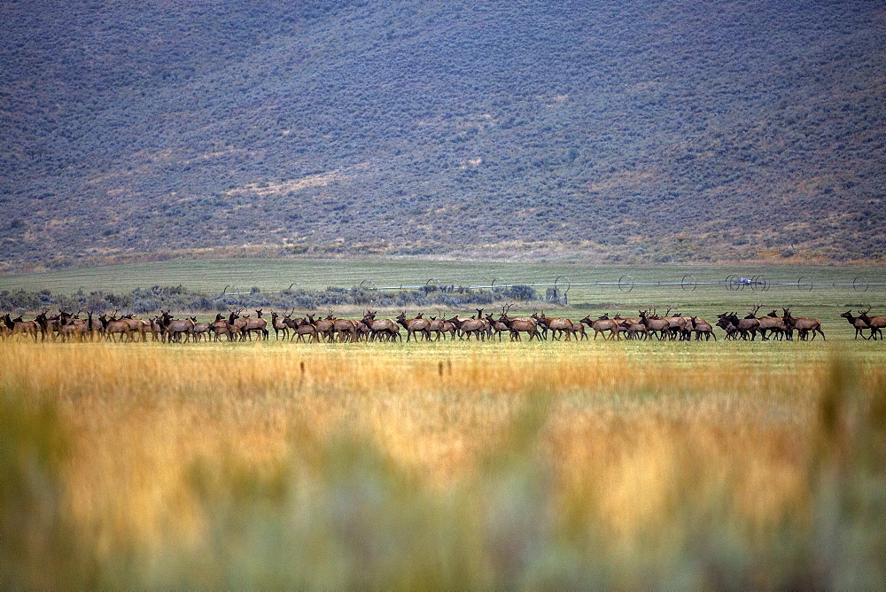 Herd of elk in field in Picabo, Idaho, United States of America