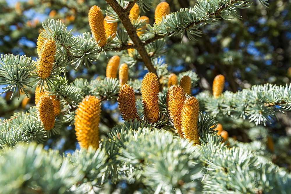 Buds on pine tree in Boise, Idaho, United States of America