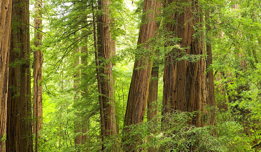 Redwood Trees in Muir Woods  California USA
