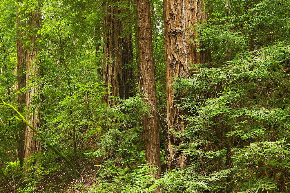 Redwoods  Muir Woods  California