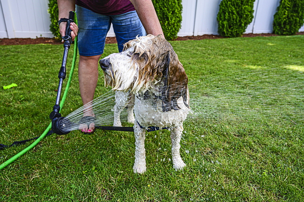 Woman washing dog on grass