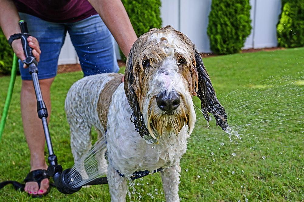 Woman washing dog on grass