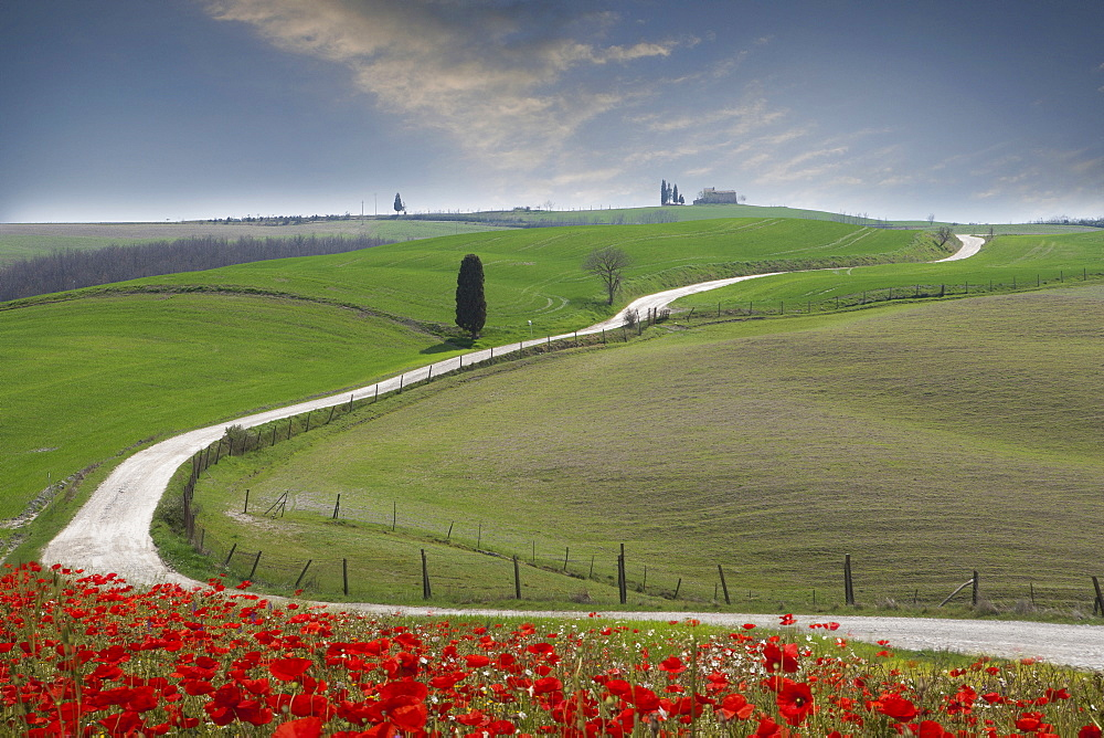 Red flowers by road in Tuscany, Italy