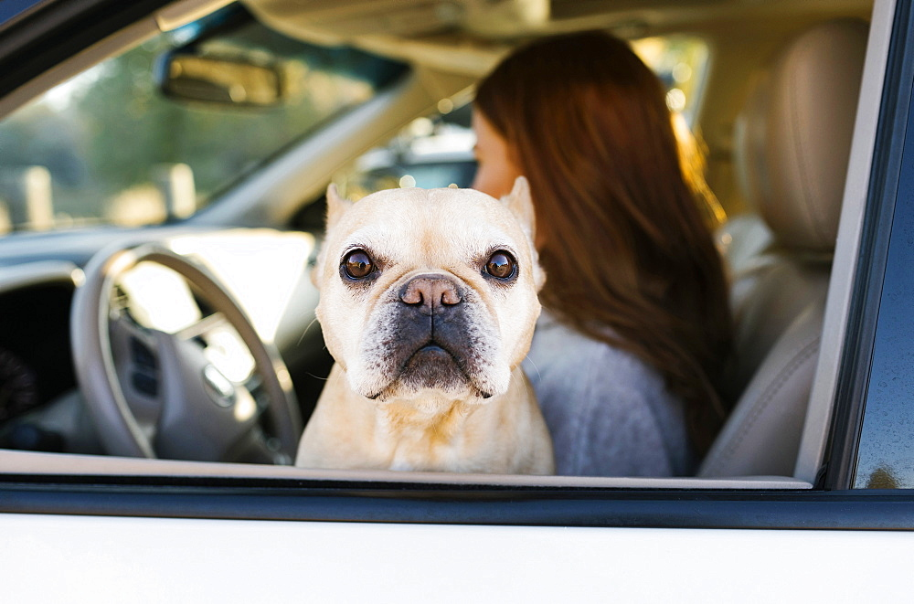 Pet French bulldog by woman in car window