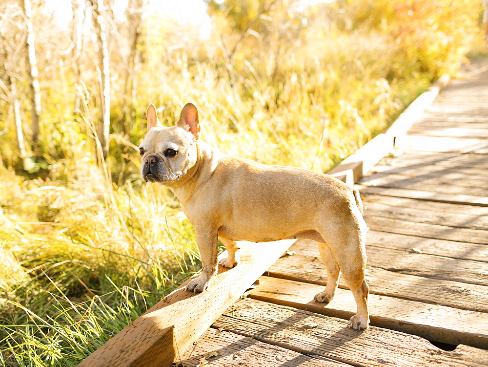 French bulldog on forest boardwalk
