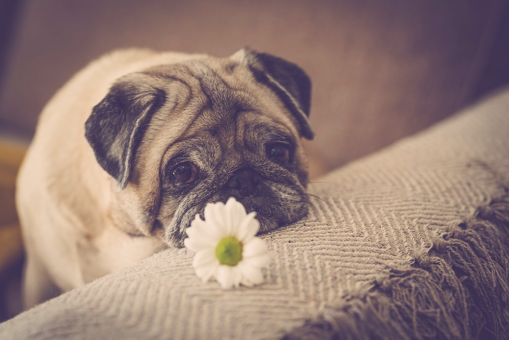 Pug with daisy on sofa