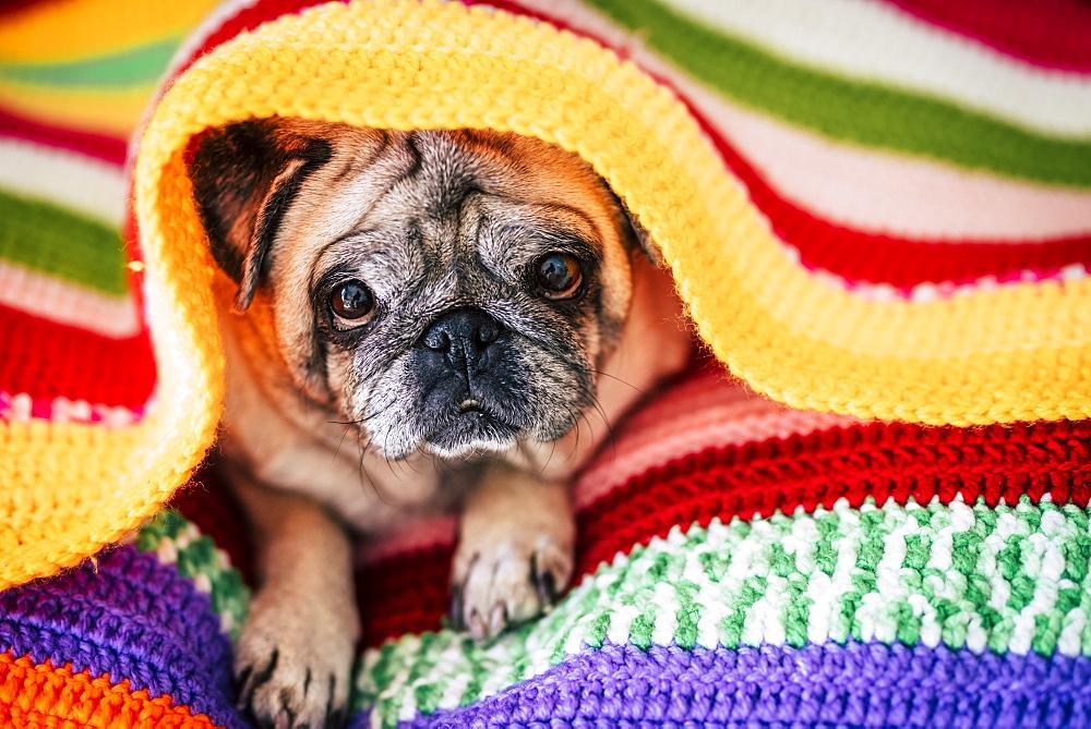 Pug lying under blanket - 1178-28656