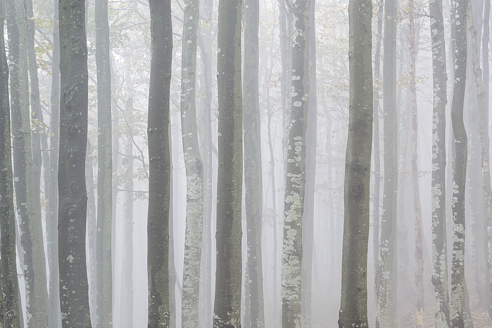 Ukraine, Zakarpattia region, Carpathians, Forest, Borzhava, Row of trees in woods in morning mist
