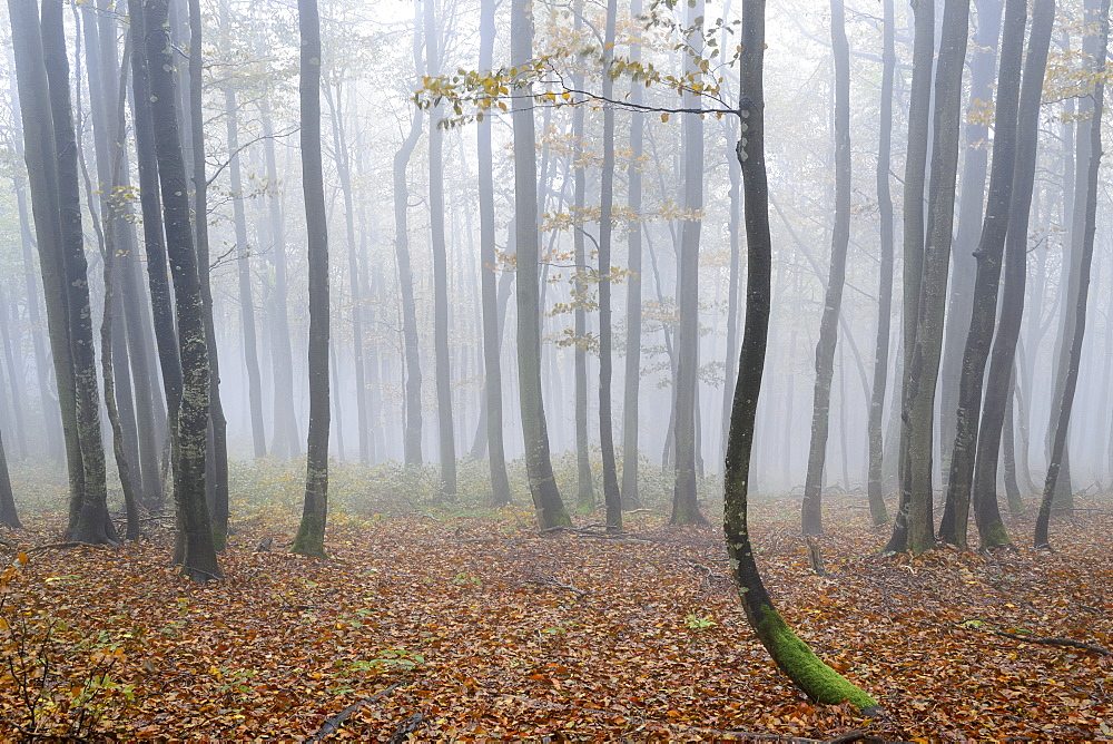 Ukraine, Zakarpattia region, Carpathians, Forest, Borzhava, Autumn forest in morning mist