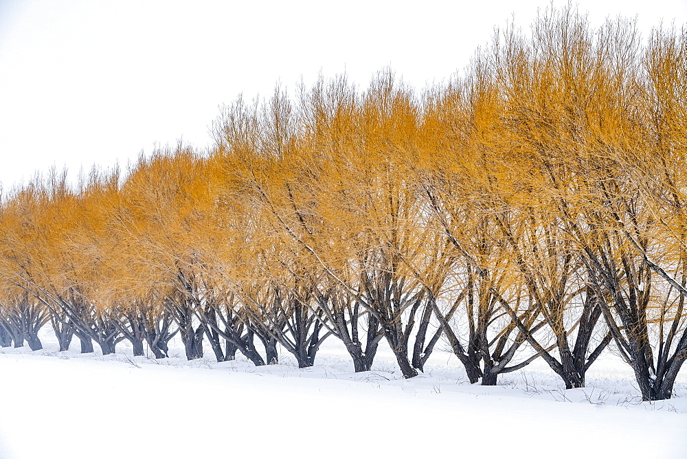 Brown willow trees in snow