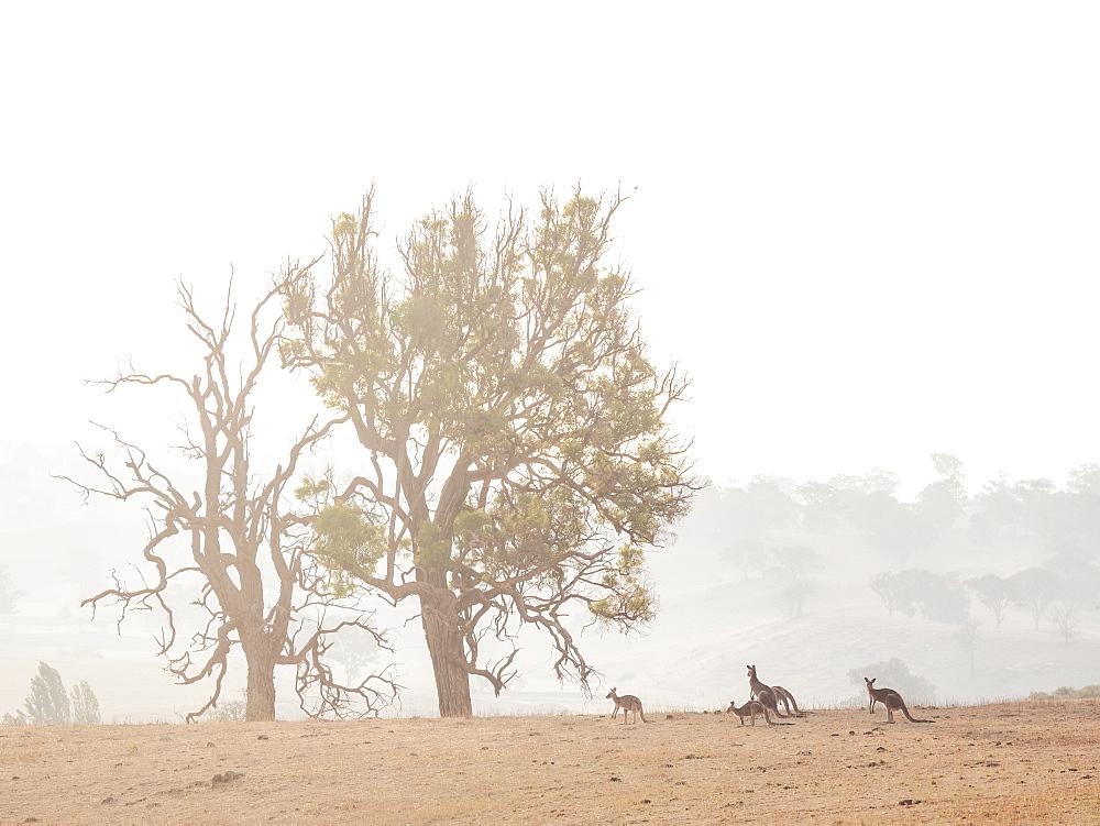 Kangaroos in dry field