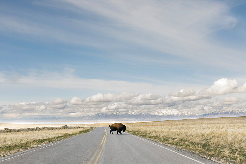 Antelope Island, Utah, USA, Bison (Bison bison) crossing road