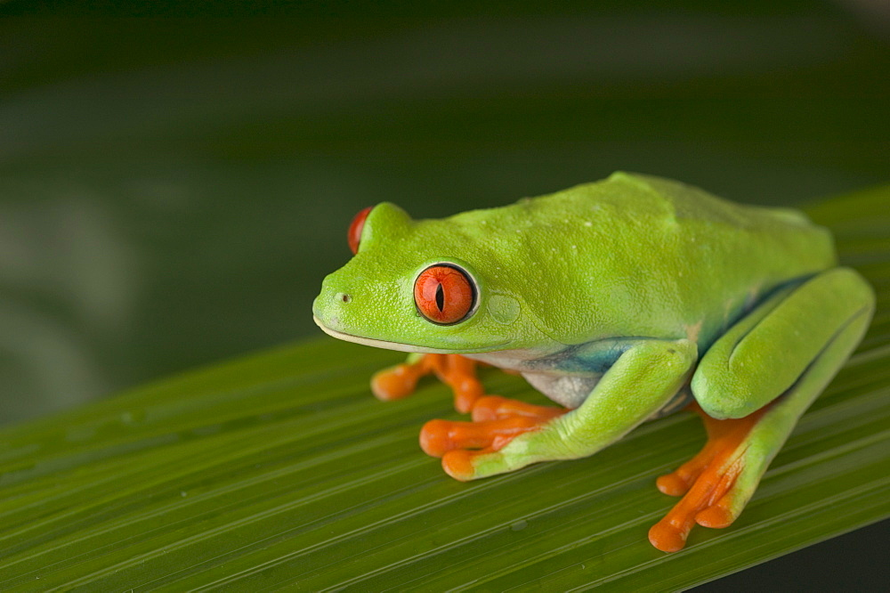 Closeup of red eyed tree frog