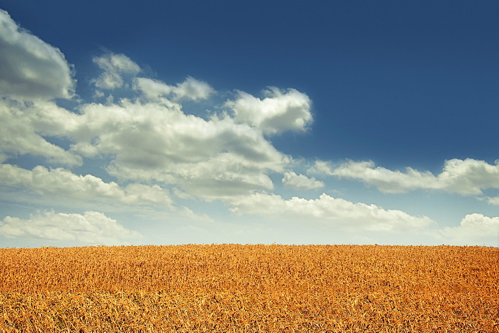 USA, Michigan, White clouds above wheat field