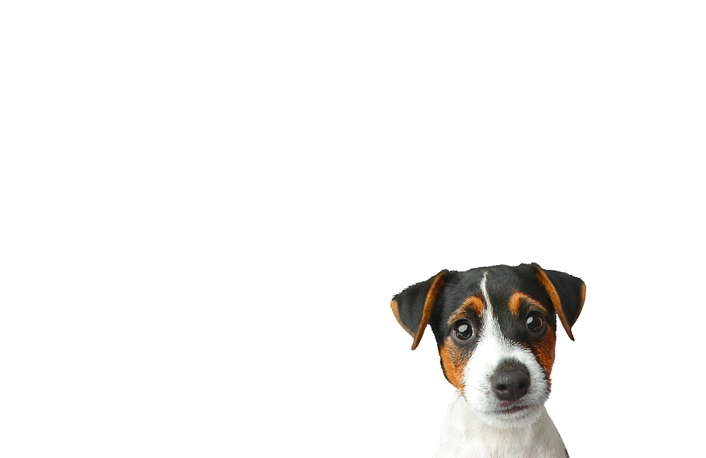 Studio shot of Jack Russel Terrier puppy