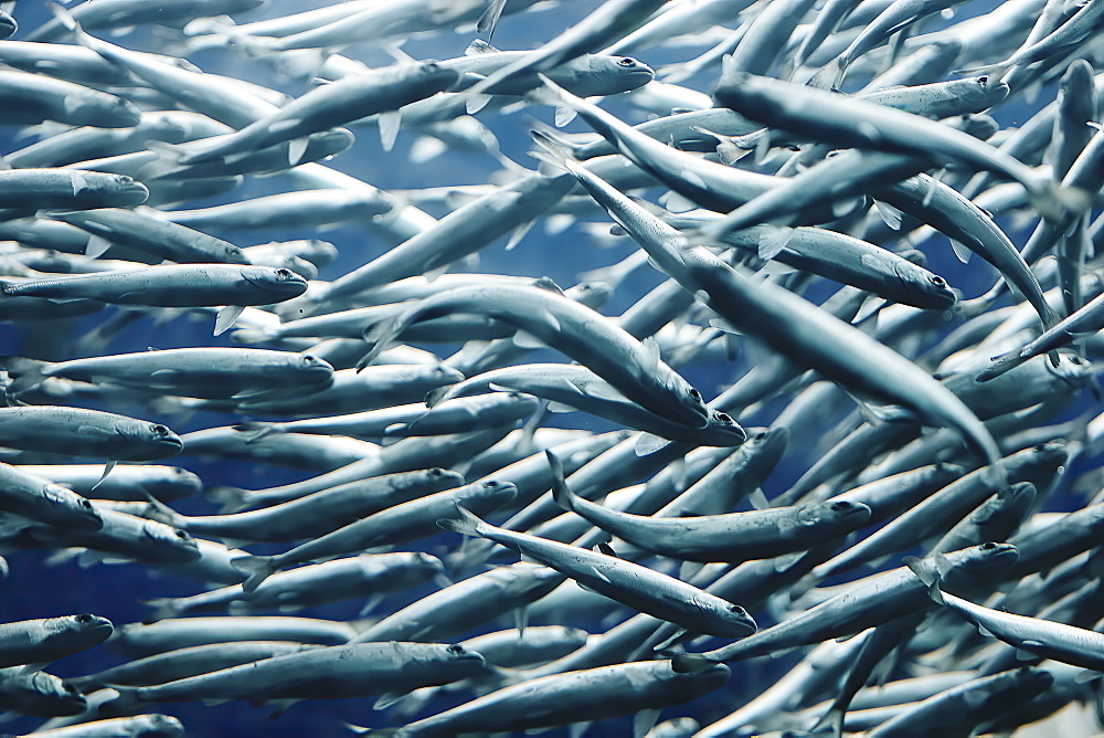 School of fish in sea