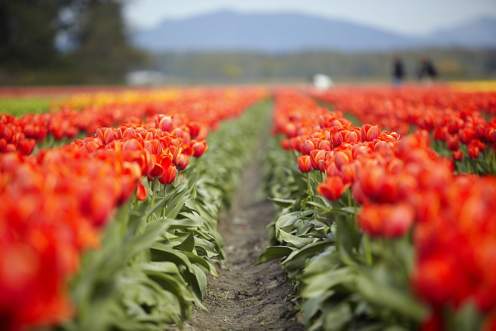 Holland, Red tulips in field