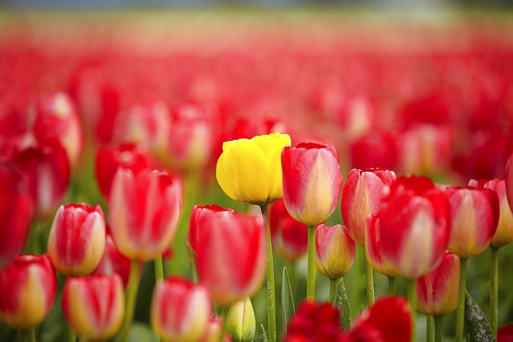 Yellow tulip among red ones