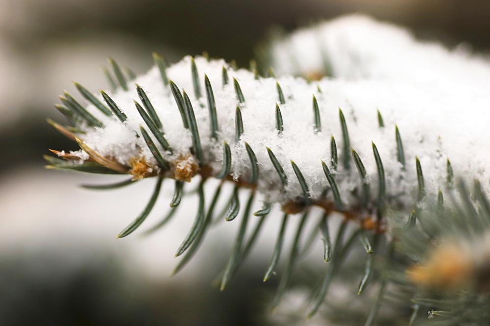 Snow covered pine needles