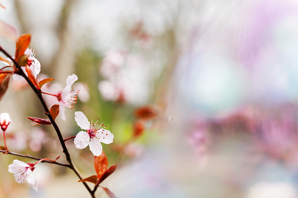 Spring blossoms on tree branch