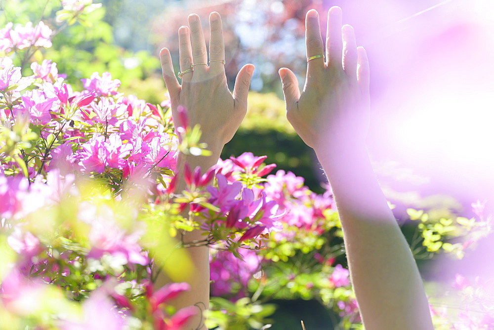 Female hands among pink flowers