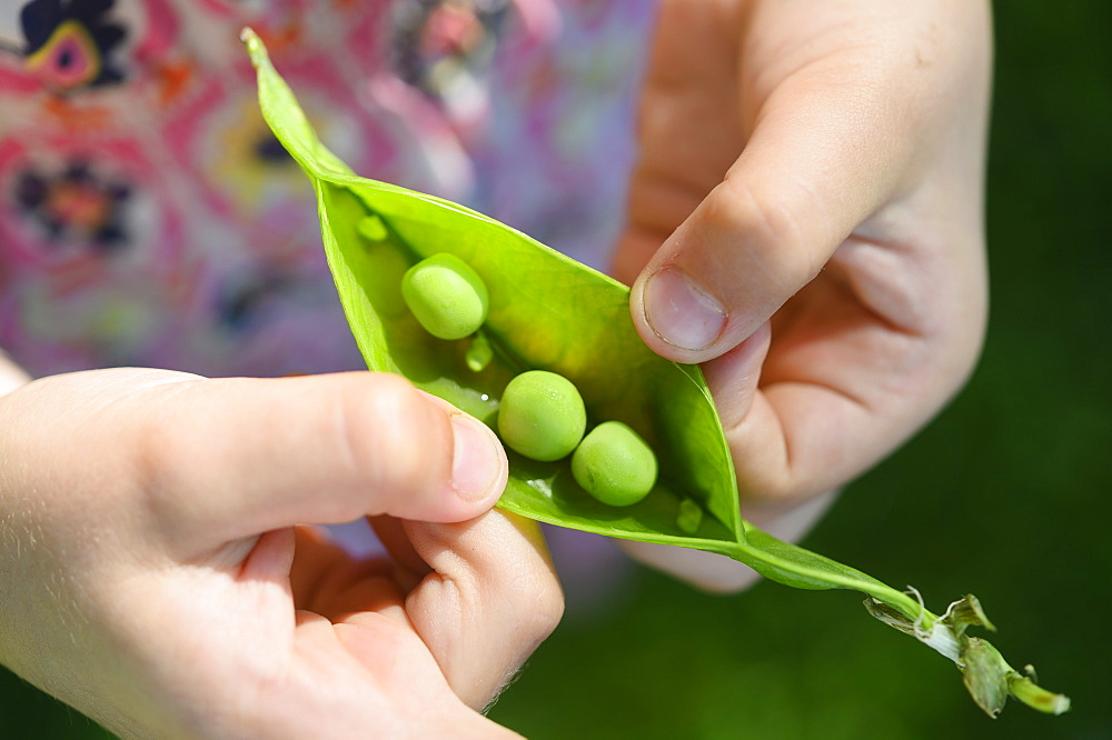 Girl opening pea pod from garden