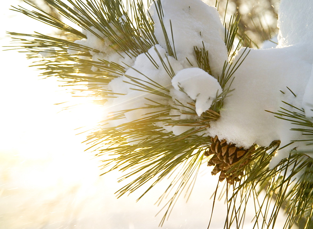 Closeup of snow covered pine bough