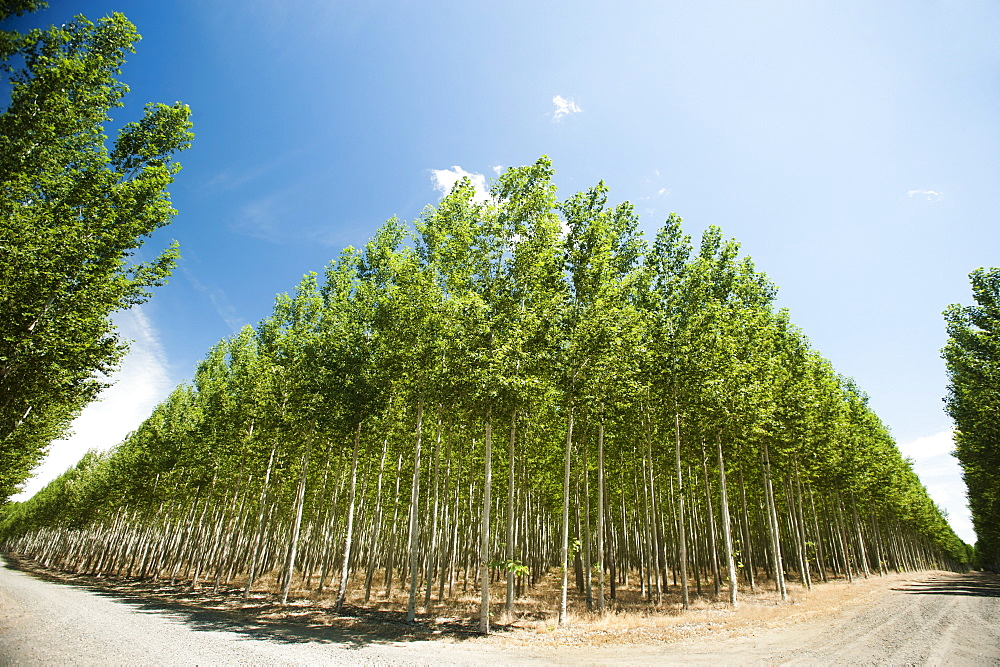 USA, Oregon, Boardman, Wide angle shot of poplar trees in tree farm
