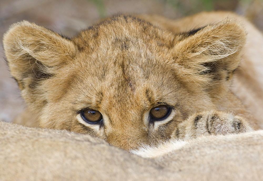 Close up of lion cub's face