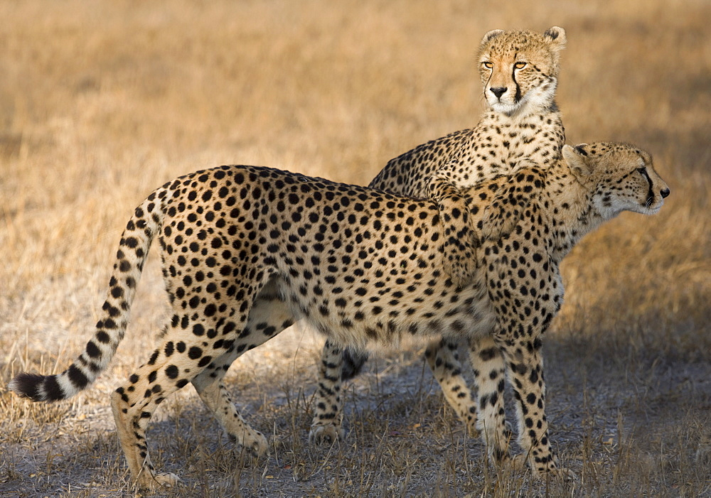 Cheetahs standing in field