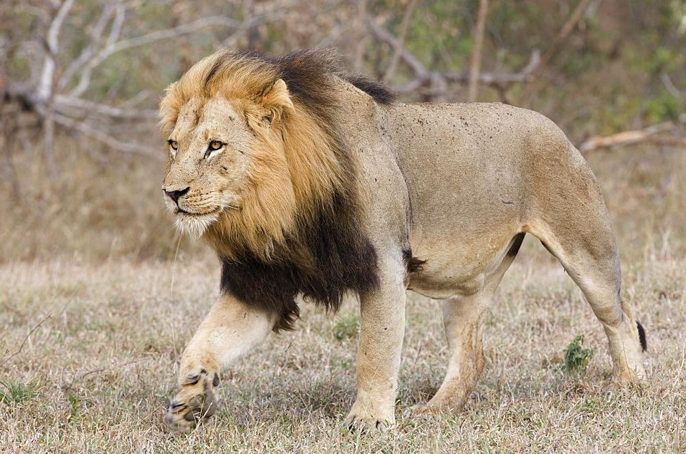 Lion walking in field
