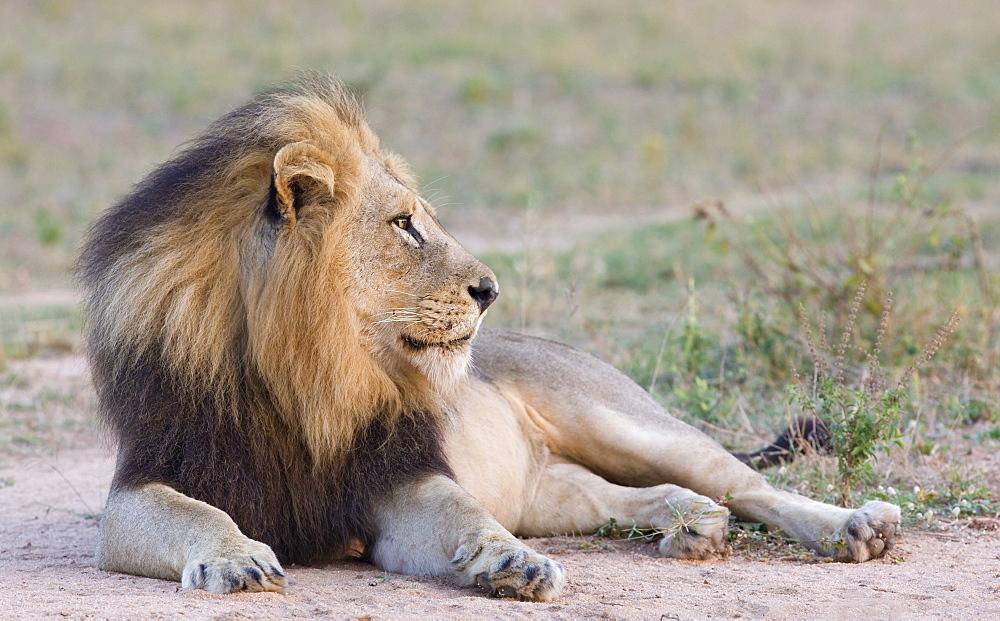 Lion lying down in dirt