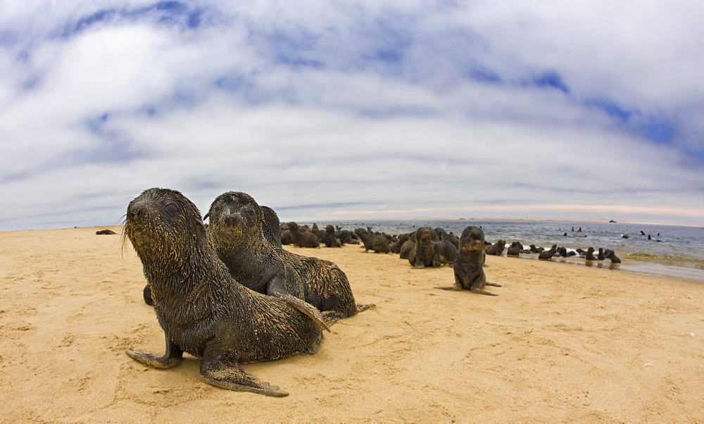 Close up of baby South African Fur Seals, Namibia, Africa