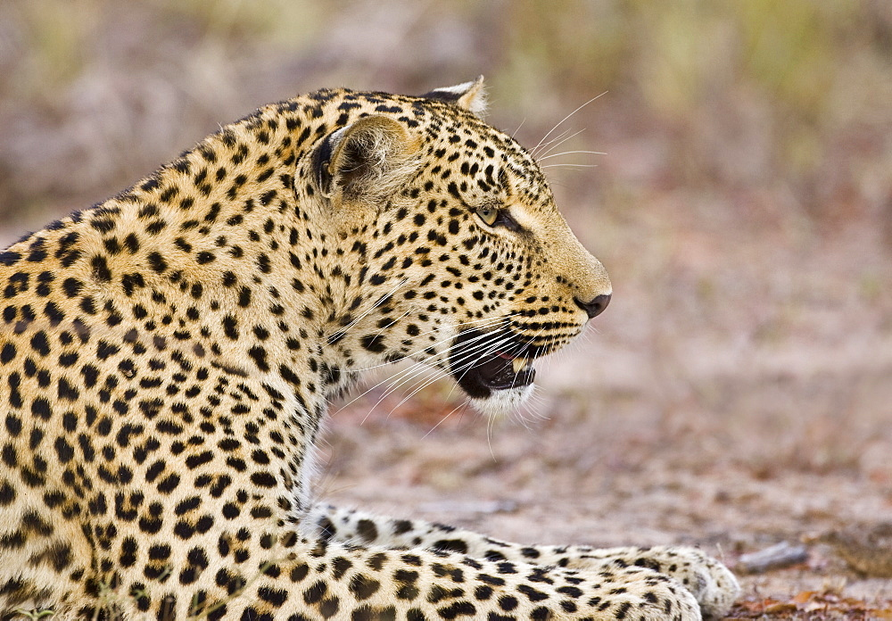 Leopard laying on ground, Greater Kruger National Park, South Africa