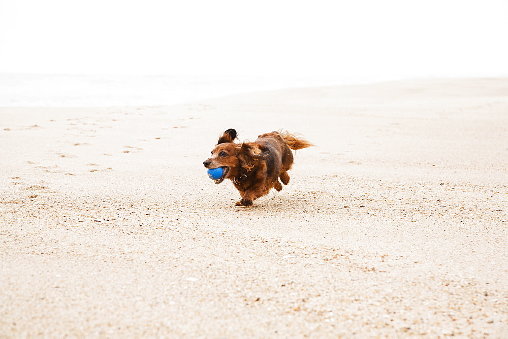 Happy dachshund running on beach with ball in mouth - 1178-5066