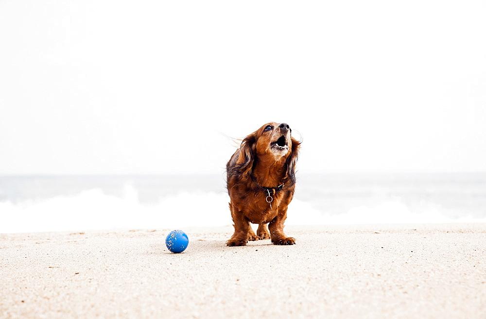 Happy dachshund standing on beach next to ball